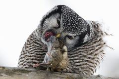 Nord-Hawk Owl, Surnia ulula, mit Opfer Stockbild