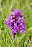 Nord-Marsh Orchid Stockfoto