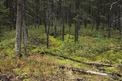 Nord-Minnesota-Wald während des Herbstes Stockfotografie