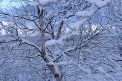 Nord Rússia dos ramos de árvore da neve do inverno foto de stock