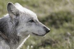 Nordamerikaner Gray Wolf mit blauen Augen stockfoto