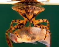 Nordamerikanische riesiges Wasser-Wanze, die ein Fisch-Abendessen genießt Lizenzfreies Stockbild
