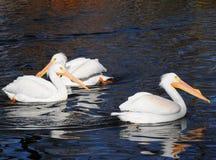 Nordamerikanische weiße Pelikane Stockfotos