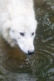 Nordamerikanischer arktischer Wolf Stockbild