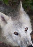 Nordamerikanischer arktischer Wolf Stockbilder