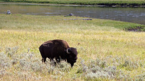 Nordamerikanischer Büffel, der auf dem Gebiet mit Fluss im Hintergrund weiden lässt Stockfotografie