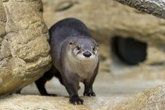 Nordamerikanischer Fluss-Otter in den Felsen Stockfotografie