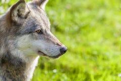 Nordamerikanischer grauer Wolf Lizenzfreie Stockfotos