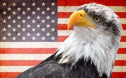 Nordamerikanischer kahler Adler Stockbild