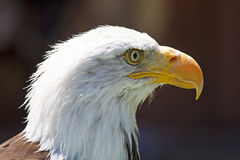 Nordamerikanischer kahler Adler Stockfotos
