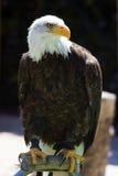 Nordamerikanischer kahler Adler Lizenzfreie Stockfotos