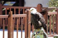 Nordamerikanischer kahler Adler Lizenzfreies Stockfoto