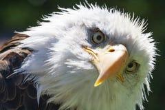 Nordamerikanischer kahler Adler Lizenzfreies Stockbild
