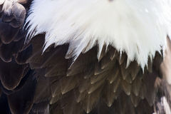 Nordamerikanischer kahler Adler Lizenzfreie Stockfotografie