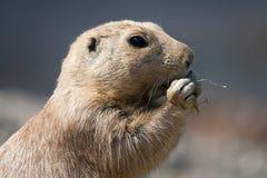 Nordamerikanischer Präriehund, der Gras isst lizenzfreie stockfotografie