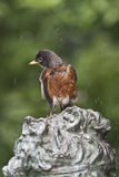 Nordamerikanischer Robin [2] (Turdus migratorius) Stockbilder