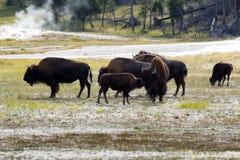 Nordamerikanischer weiblicher Büffel und ihre Nachkommenschaft, die affecti zeigt Lizenzfreie Stockbilder