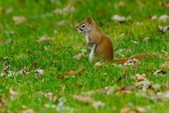 Nordamerikanisches rotes Eichhörnchen lizenzfreies stockfoto