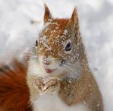 Nordamerikanisches rotes Eichhörnchen Lizenzfreies Stockbild