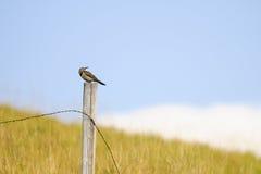 Nordaufflackern (Colaptes auratus) Lizenzfreie Stockfotografie