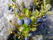 Nordblaubeeren, die auf den Granitsteinen wachsen Lizenzfreie Stockbilder