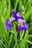 Nordblaue sumpf-schwertlilie - Iris versicolor Stockbilder