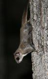 Nordflugwesen-Eichhörnchen nachts lizenzfreie stockfotos