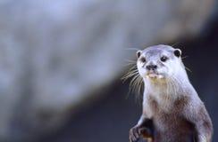 Nordfluss-Otter (Lutra canadensis) Lizenzfreie Stockbilder