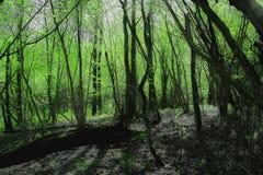 Nordfrühlingswald Bamboolike stockbild