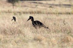 Nordgrundhornbill Bucorvus-abyssinicus Lizenzfreies Stockfoto