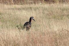 Nordgrundhornbill Bucorvus-abyssinicus Stockfotografie