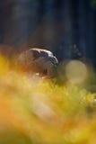 Nordhühnerhabicht Lizenzfreie Stockfotografie