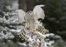 Nordhühnerhabicht Accipiter gentilis Lizenzfreie Stockfotografie