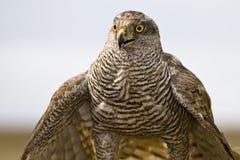 Nordhühnerhabicht (Accipiter gentilis) Stockbild