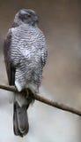 Nordhühnerhabicht - Accipiter gentilis Stockfotos