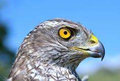 Nordhühnerhabicht (Accipiter gentilis) Lizenzfreies Stockfoto