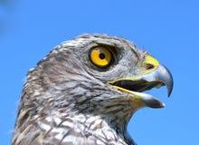 Nordhühnerhabicht (Accipiter gentilis) Lizenzfreie Stockbilder