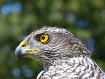 Nordhühnerhabicht (Accipiter gentilis) Lizenzfreie Stockfotos