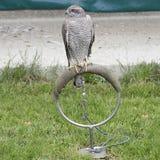Nordhühnerhabicht, Accipiter gentilis Lizenzfreie Stockfotografie