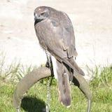 Nordhühnerhabicht, Accipiter gentilis Lizenzfreie Stockfotos
