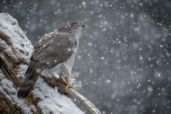 Nordhühnerhabicht, Accipiter gentilis, während eines Sturms der starken Schneefälle Stockfoto