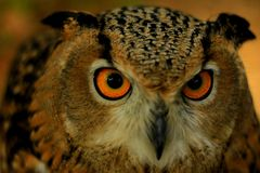 Nordic eagle owl royalty free stock image