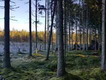 Nordic fall pinetree forest royalty free stock images