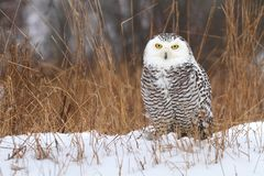 Nordic owl Royalty Free Stock Images