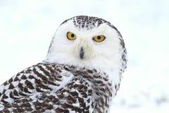 Nordic owl portrait Royalty Free Stock Photo