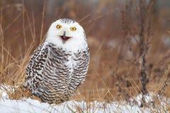 Nordic owl screaming Stock Photo