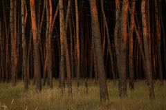 Nordic pine forest in evening light. Short depth- Stock Photos