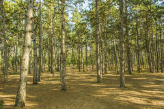 Nordic Scandinavian pine forest, Sweden early morning. Morning in a pine forest. green grass Royalty Free Stock Photo