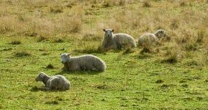 Nordic sheep Royalty Free Stock Photo