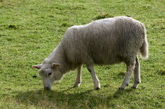 Nordic sheep Stock Images